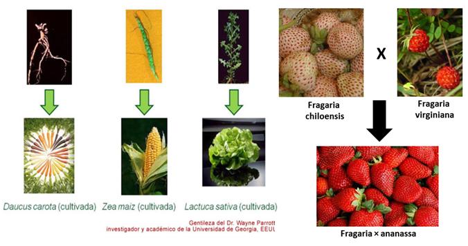 frutilla+chclo