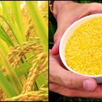 golden rice portada