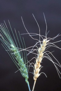 Trigo infectado con fusariosis de la espiga (derecha) - Imagen: Wikipedia