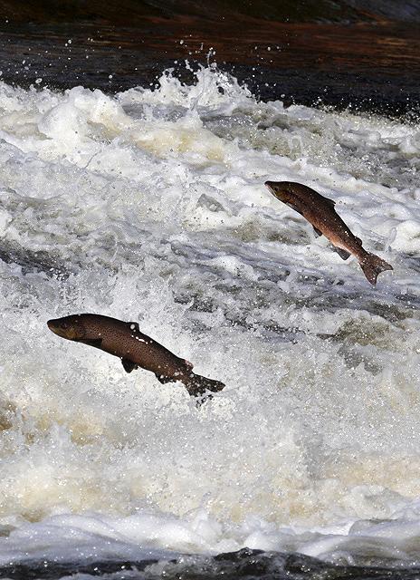 salmonrioarriba