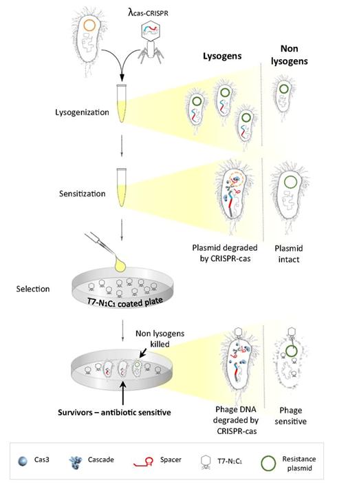 bacteriaCRISPR